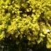 Mon beau mimosa