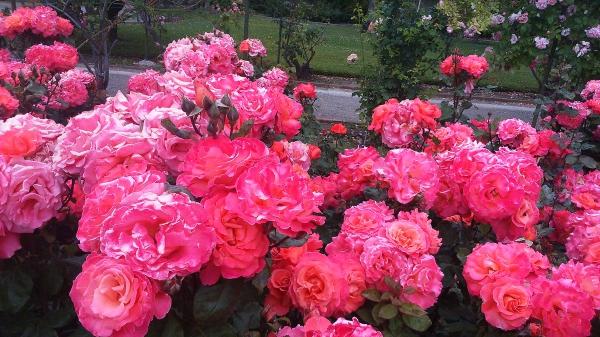 Les plus belles roses
