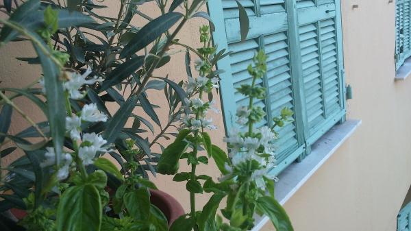 Basilic en fleur