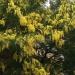 Le mimosa du 18