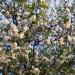 Les arbres en fleurs