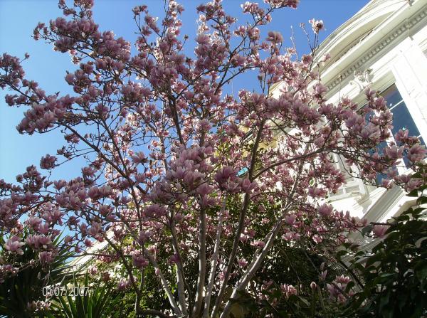 Premier magnolia en fleurs